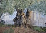 겟세마네의 감람나무